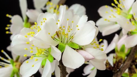 Almond flower blossom time lapse/Almonds flowers growing and blossoming time lapse video with vertical movement and rotation/Almond blossoms