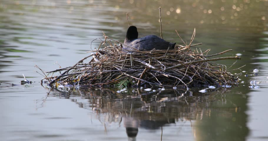 Pair of Coot birds with newly hatched nestlings in a nest on water surface during a spring nesting period