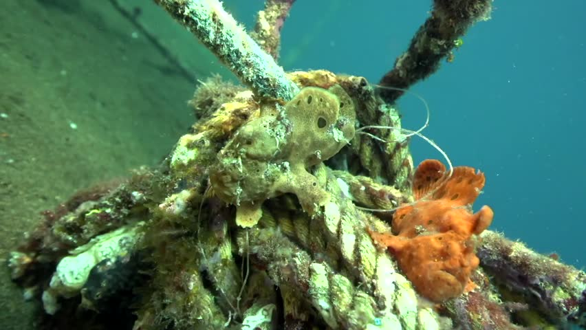 Green-yellow and Red Warty frogfish (Clown anglerfish), Antennarius maculatusin the artificial corals ( robes)  in Zulu sea Dumaguete Philippines.