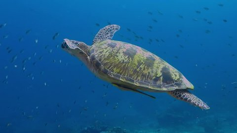 Sea turtle swimming underwater in the deep blue sea. Scuba diving with wild turtle in the ocean. Tortoise in the sea.