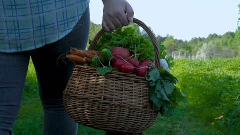 A girl, a female farmer (blonde, in a shirt) holds a basket of vegetables, radishes, salad, greens, cucumber, carrots, bio-flavored foods.
