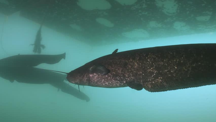 Group of massive Wels Catfish, underwater shot