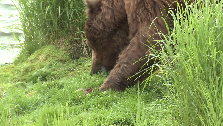 Brown Bear Old Lone Eating Grazing in Summer Grass Vegetation in Alaska