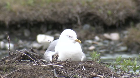 Mew Gull Adult Chicks Young Brood Nesting Brooding in Summer in Alaska