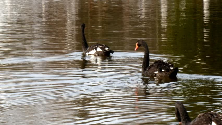 A flock of black swan swims in the summer on the mirror surface of the pond in the park in search of food. Birds in the wild nature. | Shutterstock HD Video #1011392651