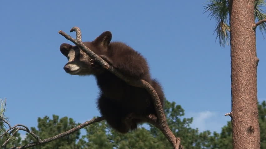 Black Bear Young Cub Lone Climbing in Spring Tree Branch