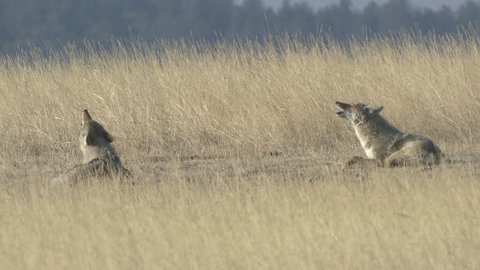 Coyote Pair Calling Howling in Winter Howl Yipping Sitting in South Dakota