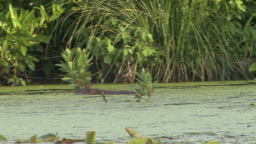 Muskrat Adult Lone Swimming in Spring Pondweed in Wisconsin