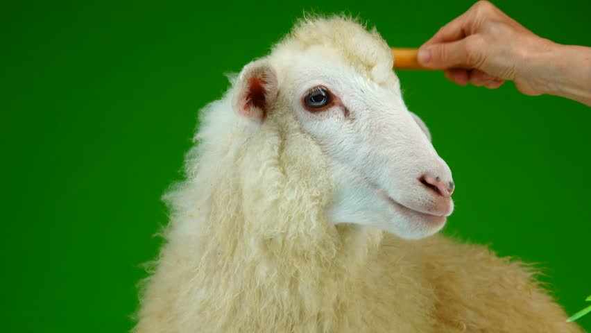 Preparation for photography, combing sheep on the green screen   Shutterstock HD Video #1011465431