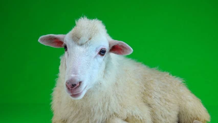 Sheep lies and chews on the green screen   Shutterstock HD Video #1011465581