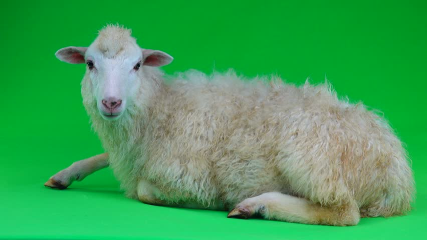 A sheep lies on a green screen   Shutterstock HD Video #1011465641
