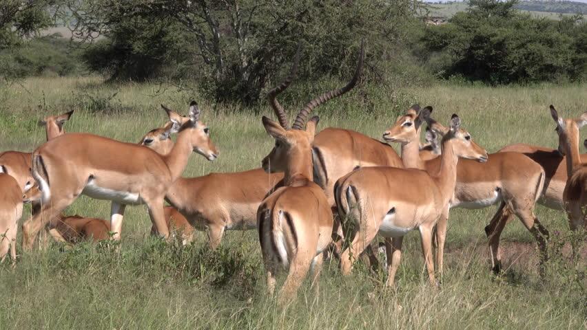 Impala, Herd of Impala, Serengeti, Tanzania, Africa   Shutterstock HD Video #1011469031