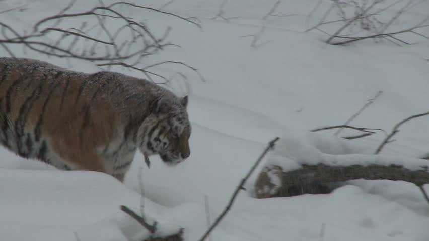 Siberian Tiger Adult Lone Walking in Winter Snow Snowing