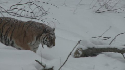 Siberian Tiger Adult Lone Walking in Winter Snow Snowing