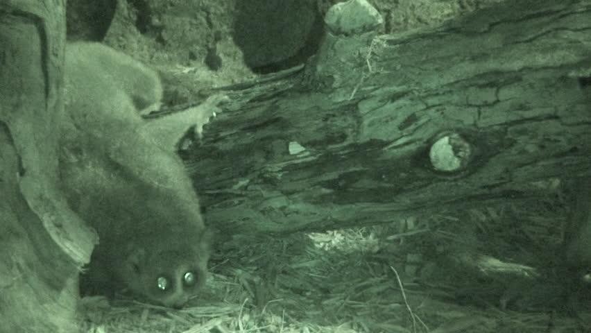 Pygmy Slow Loris Adult Lone Walking   Shutterstock HD Video #1011477311