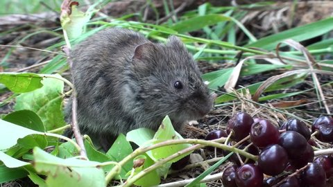 Long-tailed Vole Adult Eating in Summer in South Dakota