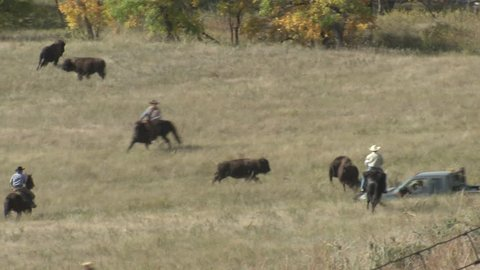 Bison Bull Cow Several Running Fleeing in Fall Roundup Capture Cowboys Horseriders Trucks Chasing in South Dakota