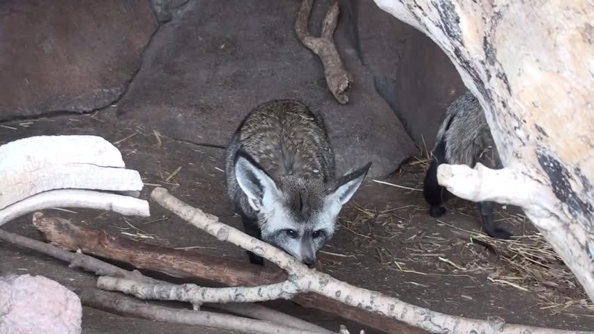 Bat-eared Fox Pair Resting   Shutterstock HD Video #1011481721