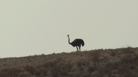 Ostrich Adult Lone Standing Looking Around Dry Season Skyline Ridgeline Head In Sand Burying Head in South Africa