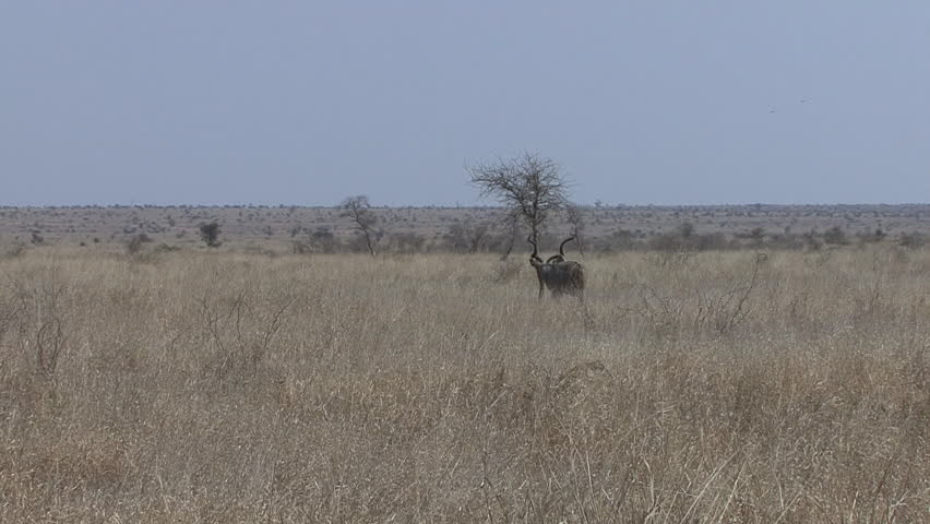 Greater Kudu Buck Male Adult Lone Standing Walking Dry Season Vast Flat Plain in South Africa