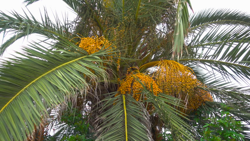 Bunch of dates on date palm. Fruit on the palm tree. Africa. Tunisia