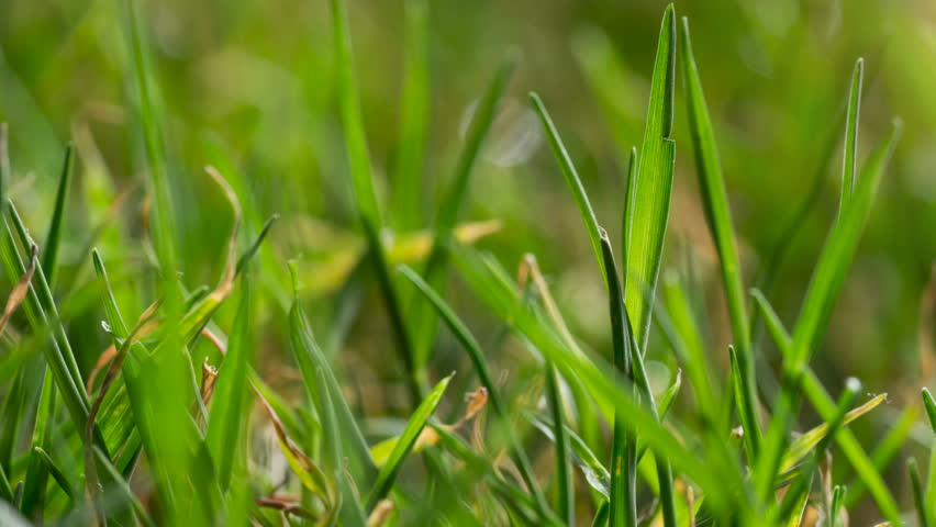 Macro bermuda grass growing time lapse video.