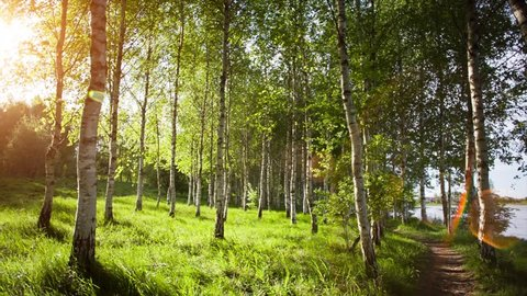 White birch trees in the forest in summer. Birch tree forest in morning light with sunlight.