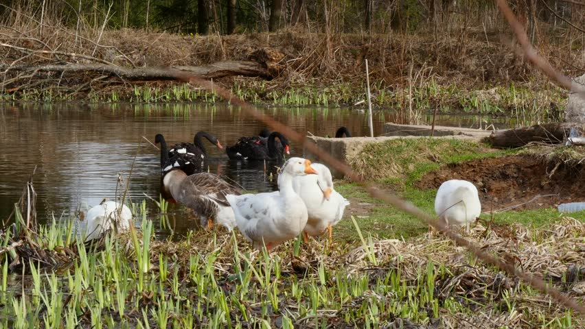A flock of white geese and black swan swims in the summer on the mirror surface of the pond in the park in search of food. Birds in the wild nature.