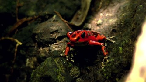 Strawberry poison red dart frog in the Caribbean forest. These amphibians are known as dart frogs because indigenous people use the frog's poison for blow darts and arrow poison. All wild dart frogs