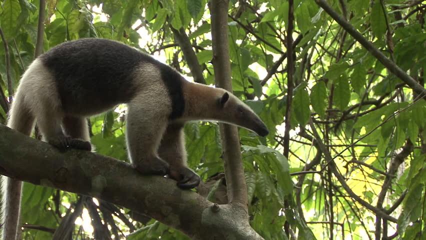 Tamandua Adult Lone Northern in Costa Rica