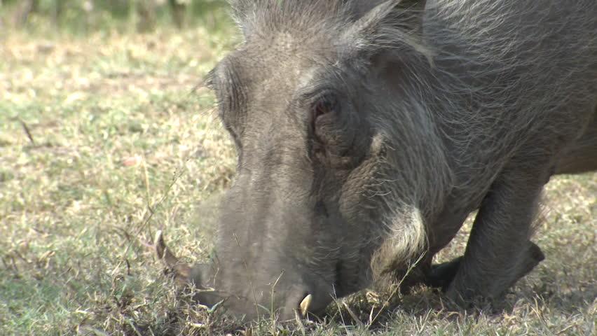 Warthog Adult Eating Dry Season Rooting Knees in South Africa