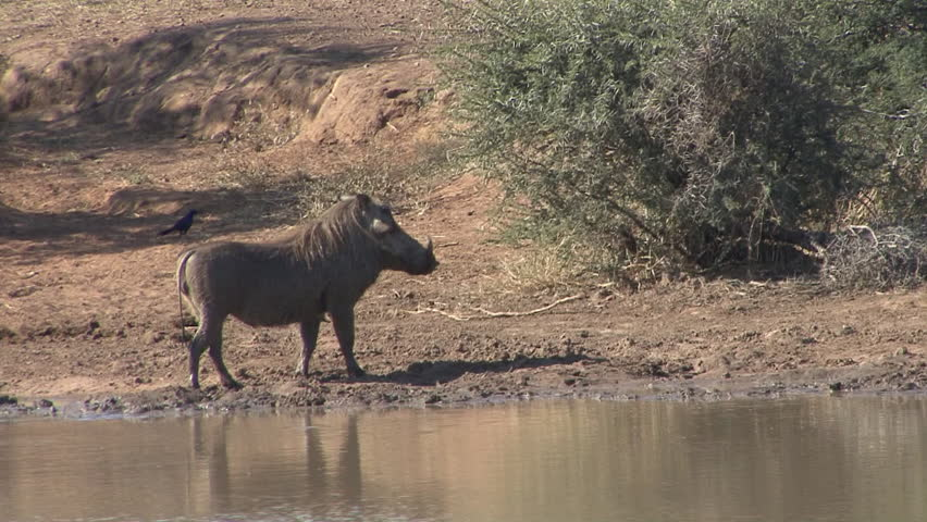 Warthog Lone Bathing Dry Season Mud in South Africa