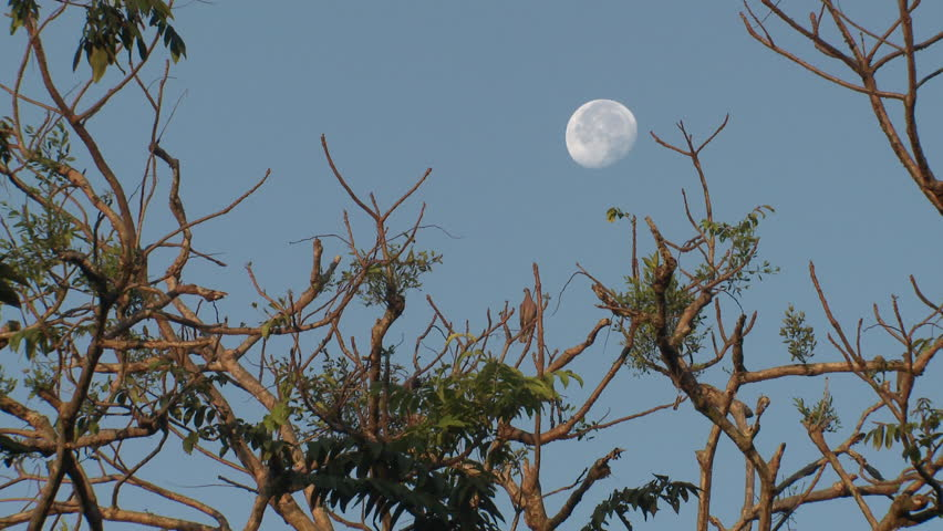 Pale-vented Pigeon Lone Resting Full Moon in Costa Rica