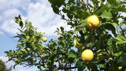 Lemon tree with ripe yellow fruit and cloudy blue sky background