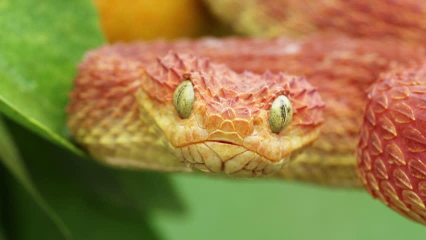 Close-up Video of a Venomous Red Bush Viper Snake flicking tongue