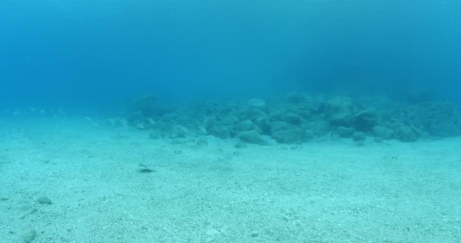 Stingray fish swim underwater jackfish fallow