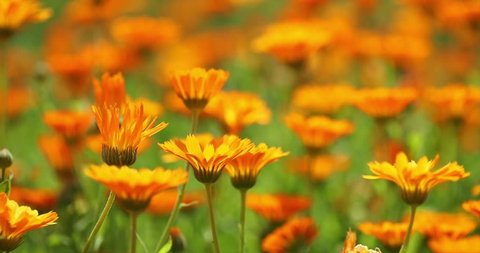 Orange Flowers Of Calendula Officinalis. Medicinal Plant