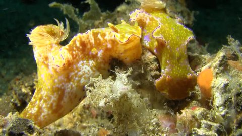 Nudibranches Ceratosoma tenue are mating on the sand in Lembeh strait Sulawesi Indonesia.
