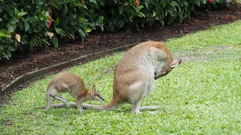A baby wallaby jumps back into the mothers pouch