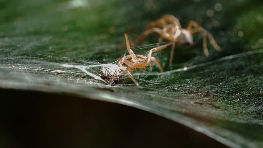 Two spiders fight
