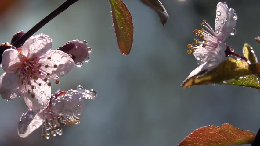 Fantasy sunlit plum twigs with pink blossom in water drops close up, waving on gray blurred background. Adorable view of lyric sakura in amazing HD clip with slow motion. Wonderful footage.