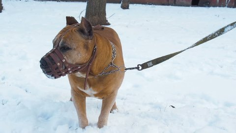 Pitbull. Pitbull in the muzzle. Dog in the snow.
