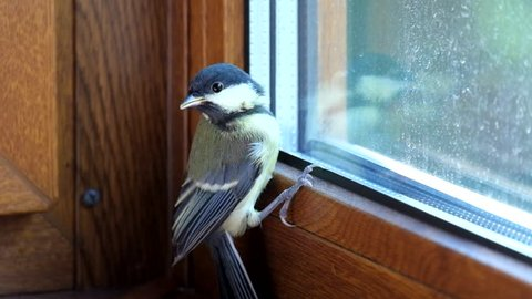 Young titmouse flew into the room and does not know how to get free (Parus major)