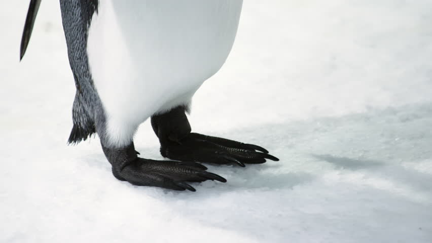 Close up of King Penguin's feet and body with scar