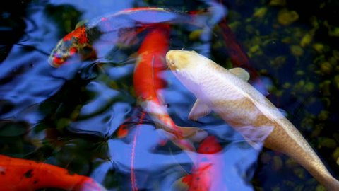 Koi fish or Amur carp fish slow motion swimming in pond. It more specifically nishikigoi and colored varieties of carp in outdoor pond or garden and waterfall. It golden red orange and yellow of body