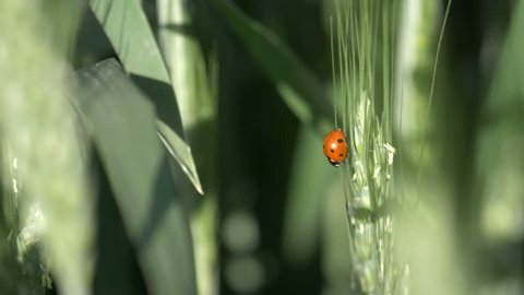 Ladybird on a  wheat ear