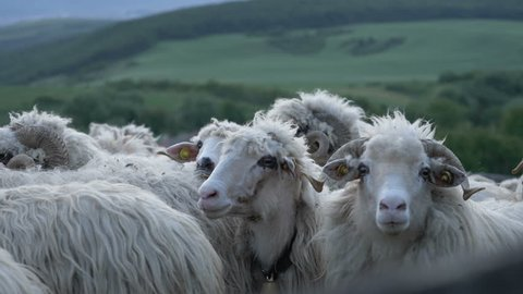 Sheep careful at the camera. Flock of sheep into sheepfold