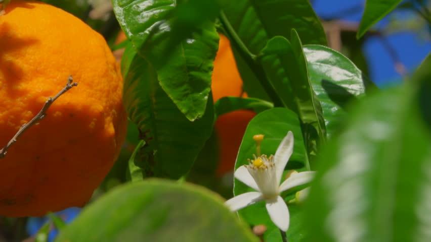 Orange flower and ripe orange on a branch of an orange tree close-up