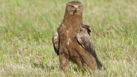 Lesser spotted eagle. Going bird on the ground. Clanga pomarina.