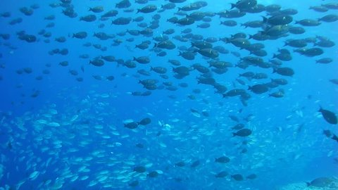 Massive school of fish Bayad and Yellowfin Surgeonfish swim in the blue water